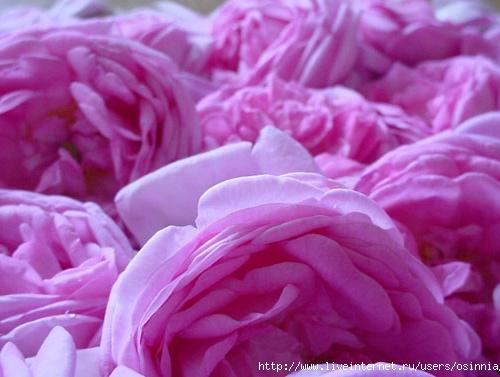 Из розы чайной ешь варен…