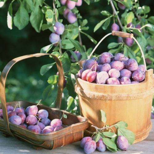Увеличить плодоношение слив