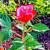 Роза Рассветная