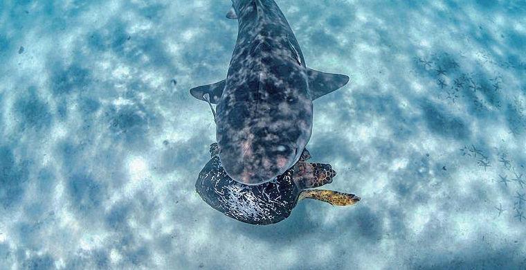 Схватка морской черепахи с акулой попала на видео