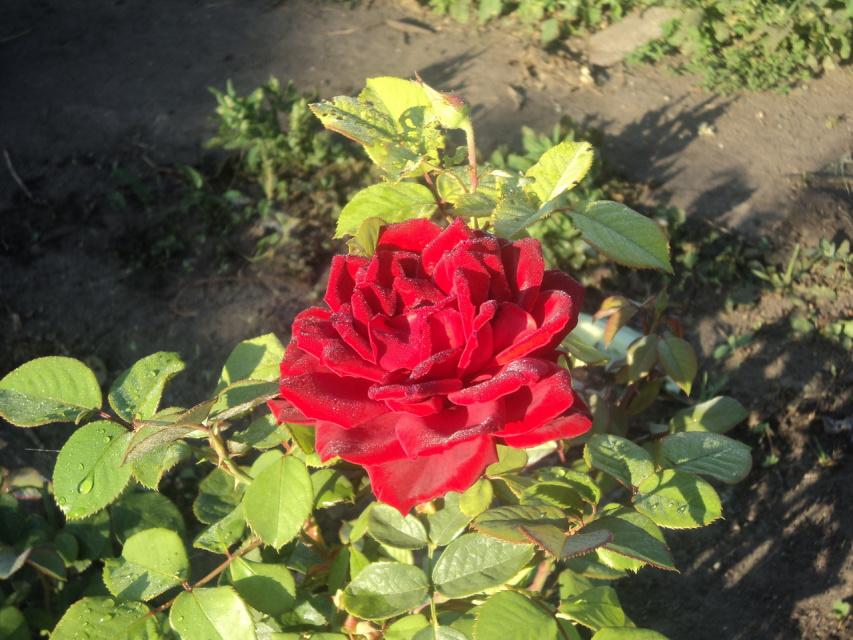 Роза у нашей соседки