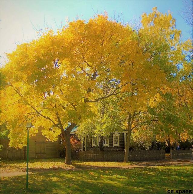 У дома Есениных золотой клён