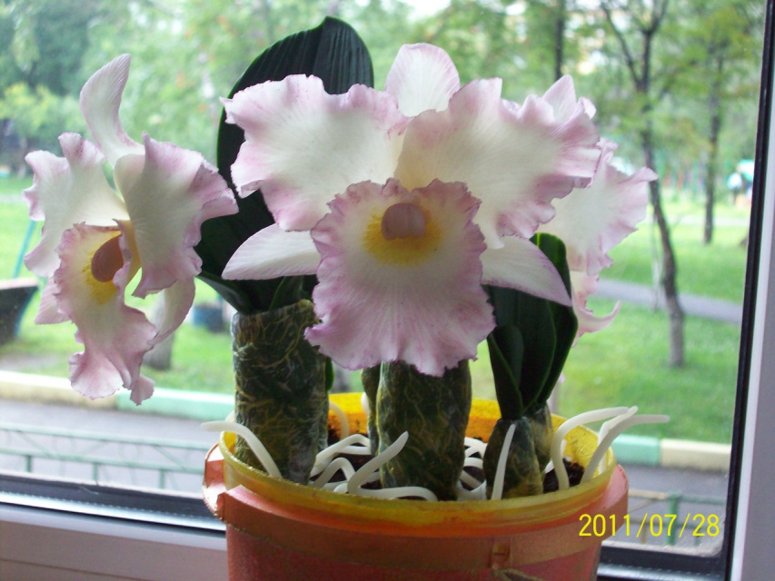 орхидея Каттлея из холодного фарфора