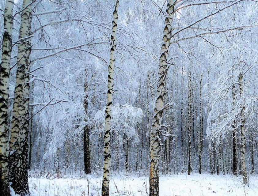 Зимние узоры берёз