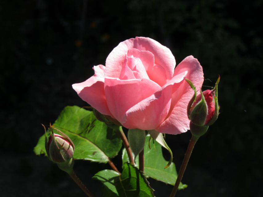 роза,фото сделано солнечным утром в полисаднике.