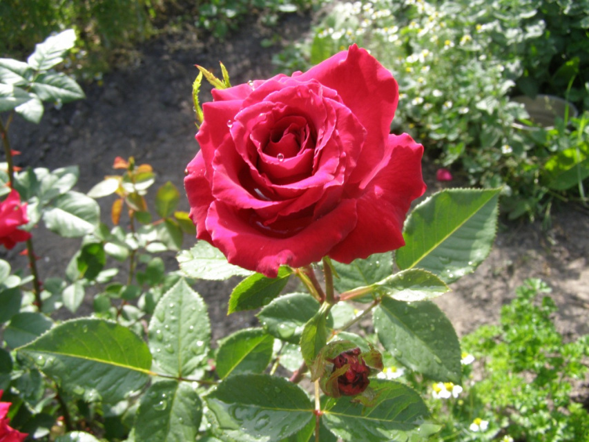 Мои розы