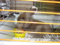 Карликовый кролик содержание уход в домашних условиях 603