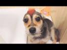 ТОП 10 ПРОВИНИВШИХСЯ СОБАК #1 Собаки НАКОСЯЧИЛИ и Ругают Собакам Стыдно Guilty Dogs 2018