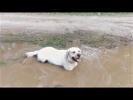 Собака везде грязь найдёт Реакция собаки на лужи и грязь Приколы про собак 2017 Funny Dogs 2017