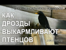 Жизнь птиц: чёрные дрозды выкармливают птенцов