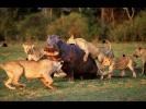 Необычное Поведение Животных — Дикость в чистом виде (Nat Geo Wild HD)