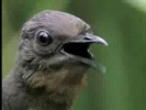 ЧУДО ПТИЦА!!! ПОДРАЖАЕТ ЛЮБЫЕ ЗВУКИ! Lyre Bird