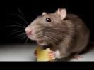О нашествиях мышей (рассказывает биолог Борис Шефтель)