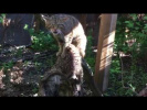 Rare Scottish wildcat kitten at Chester Zoo