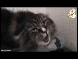 """Поющий кот Миша. Поступила команда - """"Миша давай"""", и Миша дал..."""