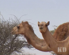На вержблюжьих скачках в Катаре