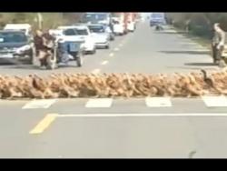 В Китае 20 тысяч уток решили перейти дорогу организованной колонной.