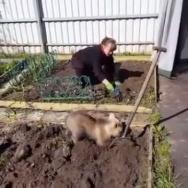 Медвежонок помогает сажать картошку