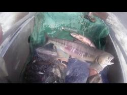 Лов Кеты на Амуре напловной  сетью  2016, (Лицензионный)  Fishing for salmon in the Amur network
