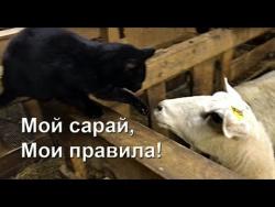 Кто в овчарне хозяин?