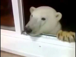 В Якутии белый медведь пришел в гости к людям. Радушно встретили, угостили печеньками.