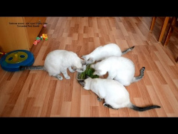 Как долго тайские кошки готовы есть траву! Улётное видео! Тайские кошки   это чудо! Funny Cats