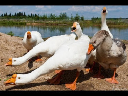Приколы с Животными 2018 Гуси атакуют! Приколы с гусями. Gooses.