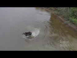 Схватка лося и волка на озере