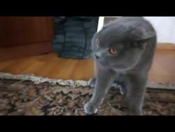 Кот Шанти ругается матом / Сat Shanti curses