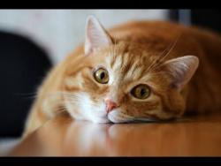 Живая Тема. Кошачья раса. Всё о кошках