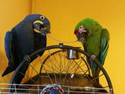 Попугай  разговаривает и лает как собака, подражает телефону,  кукарекает