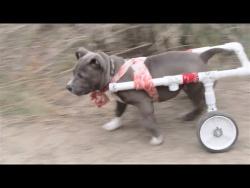 Смешные собаки Приколы с собаками Funny Dogs 2017 #1 November Собаки породы питбуль