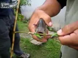 Рыба Ножницы