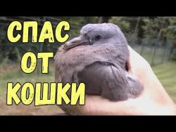 Спас голубя от кошки  Очень трогательное видео до слез