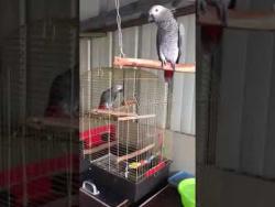 Попугай прикольно поёт. Такого ещё не слышали!