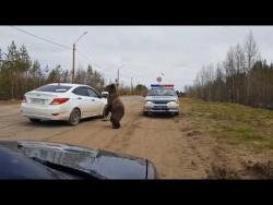 Медведь ломится в машину ДПС в Печоре