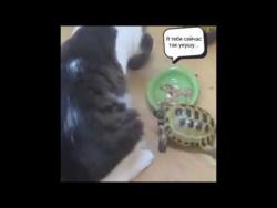 Воинственная черепаха гоняет котов
