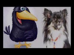Арчи чихуахуа и ворона
