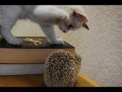 Котенок и ёжик. Лучшие друзья /Kitten and hedgehog