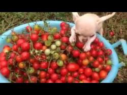 чихуа Капустка жадничает помидоры