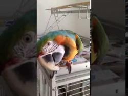 Попугай ара Сёма разговаривает с  хозяином