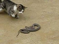 Коты охотятся на змею /Cats prey on a snake