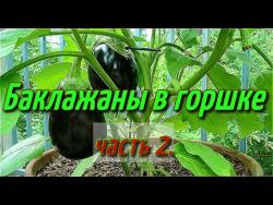 Баклажаны в горшке(часть-2).Баклажаны выращивание в горшке зимой в теплице.