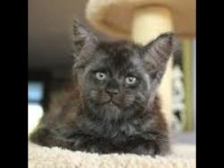 Загадочная кошка Валькирия  с человеческим  лицом