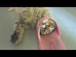 Приколы с Животными 2018 Коты и Тапки ( Друзья или Враги и Чихуахуа Вор в законе )