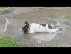 Приколы про собак 2018 Смешные собаки Приколы с животными 2018 Funny Bulldog  Videos