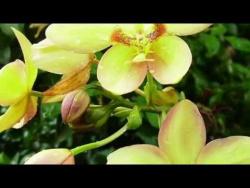 Орхидеи Фаленопсис Phalaenopsis