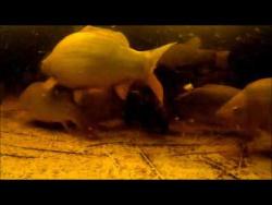 Подводная съемка на маленькой домашней рыбной ферме