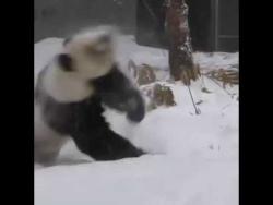 Реакция панды которая первый раз увидела снег