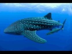 Встреча с китовыми акулами! Филиппины 2016